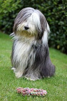 Bearded Collie - A.k.a. Highland Collie, Mountain Collie, Hairy Mou'ed Collie, Argle Bargle, Beardie - Scotland - Herding