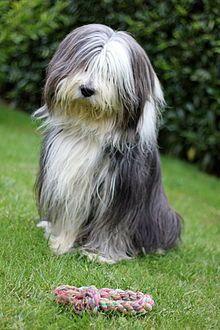 Bearded Collie - A.k.a. Highland Collie, Mountain Collie, Hairy Mou'ed Collie, Argle Bargle, Beardie - Scotland - Herding