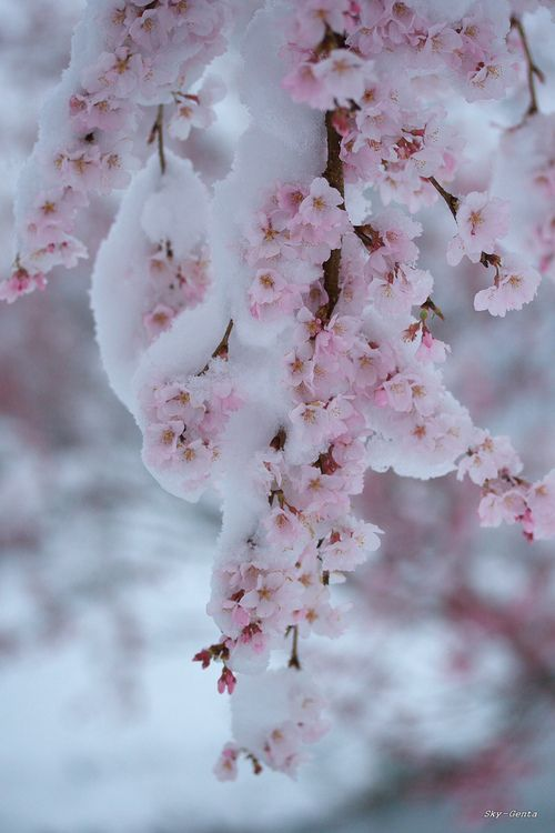 Cherry Blossoms In Snow. (1) From: Bella Faye Garden, please visit