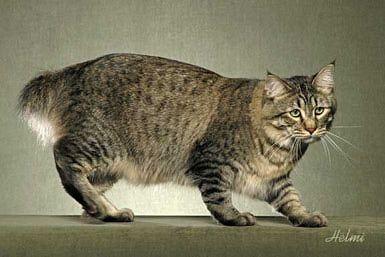 No, Pixi-Bob is not a Hairdo - It's a Cat Breed: Pixi-Bob Bear