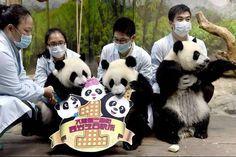Trigêmeos de pandas gigantes ganham festa de 2 anos