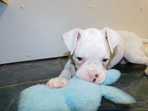 Boxer Puppy For Sale In Hammond In Adn 71949 On Puppyfinder Com