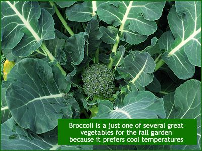grow broccoli in your new england garden well into september and october
