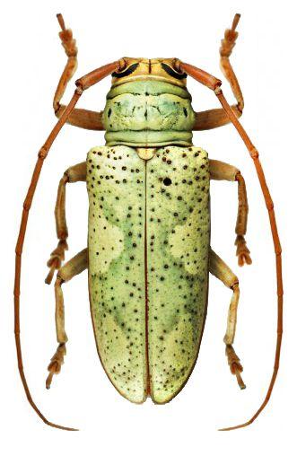 Prosopocera (Alphitopola) aemilii.