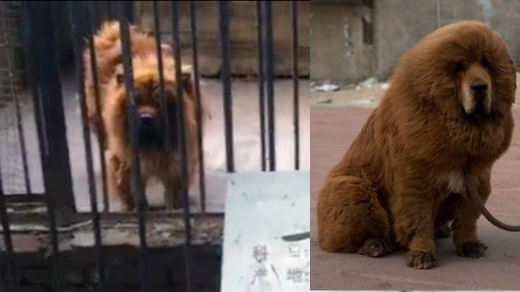 For real: Zoo in China gets busted for trying to pass off this dog as a lion.