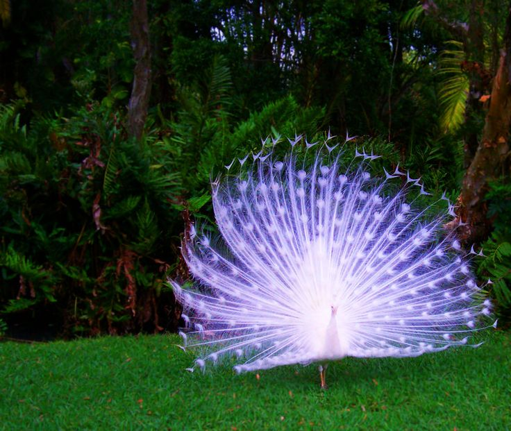 Albino Peacock. Carries a beautiful opaque lavender hue to its feathers.
