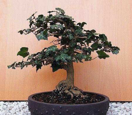 9 besten bonsai bilder auf pinterest bonsai efeu und garten. Black Bedroom Furniture Sets. Home Design Ideas