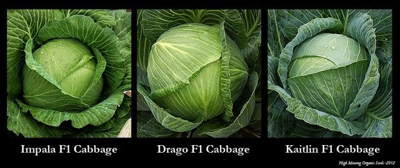 Organic Cabbage Variety Spotlight - Which cabbage is best for what?