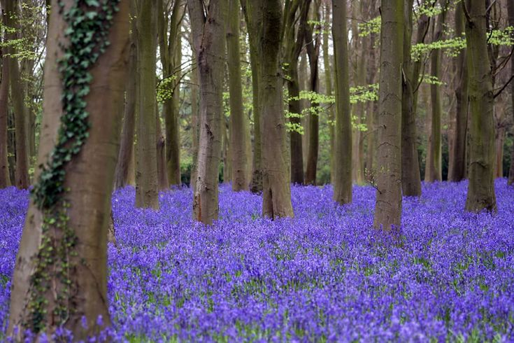 Bluebells at Badbury Hill