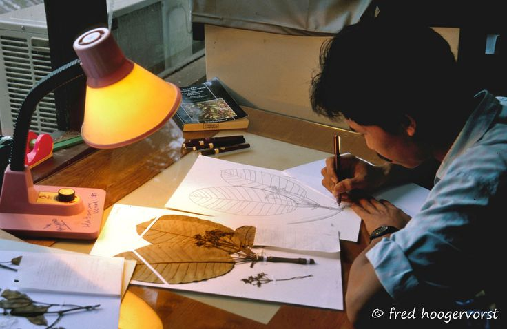 Artist-Scientist at Herbarium documenting parts of plants, leaf, from the Tropical Rainforest of Borneo, East Kalimantan, Indonesia