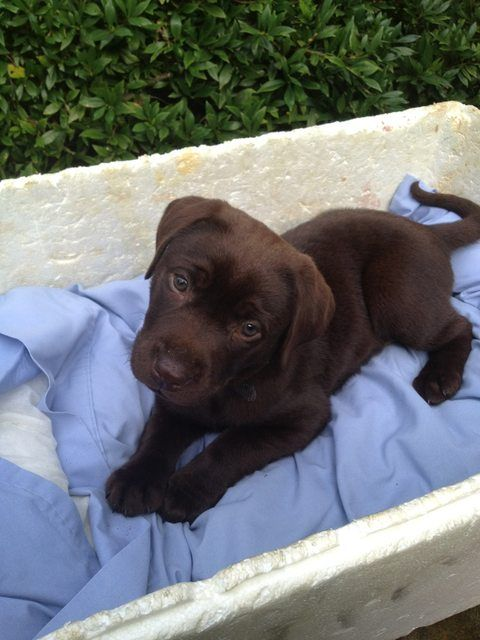 chocolate Labrador.