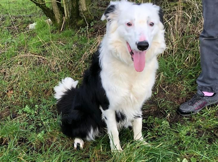 Bud Find A Pet Rspca Org Uk With Images Pets Dogs Collie