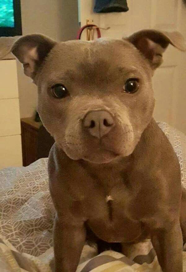 This Staffordshire Bull Terrier has the sweetest face!  www.bullymake.com