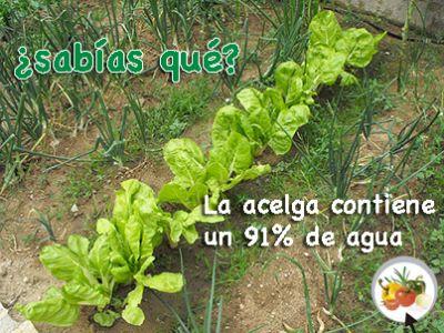 La acelga contiene un 91% de agua  Propiedades de la acelga http://mihuertaonline.wordpress.com/2014/05/21/propiedades-de-la-acelga/