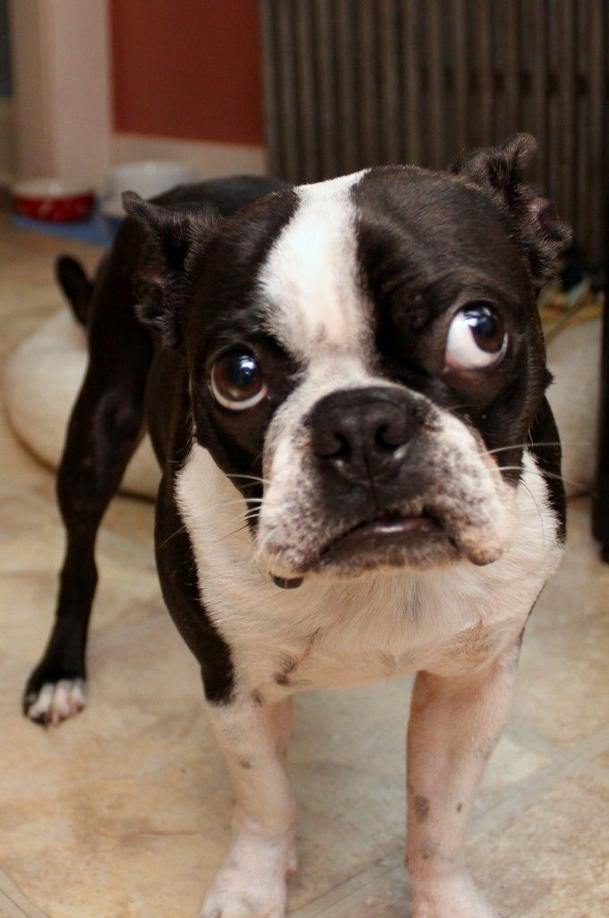 One of the many forms of the Boston Terrier stink eye.. lifewithlulu.com @luluandwallyStink Eye, Boston Bull, Dog Food, Food Factories, Boston Terriers, Mason Jars, Baby Bears, Dogs Food, Terriers Stink