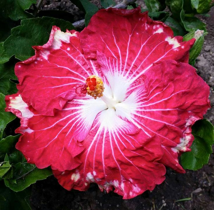 Happily Ever After Hibiscus