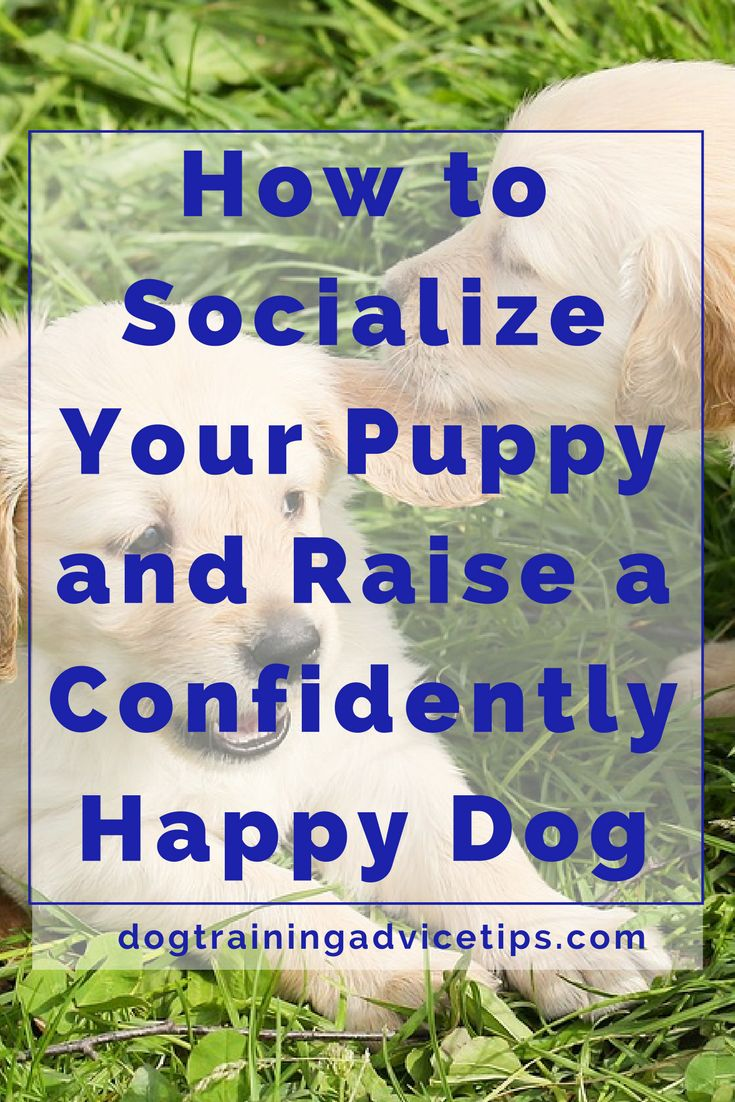 How to Socialize Your Puppy and Raise a Confidently Happy Dog | Dog Training Tips | Dog Obedience Training | Dog Training Ideas | http://www.dogtrainingadvicetips.com/socialize-puppy-raise-confidently-happy-dog