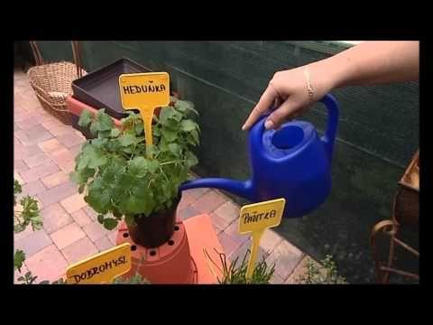 Jak vypěstovat bazalku