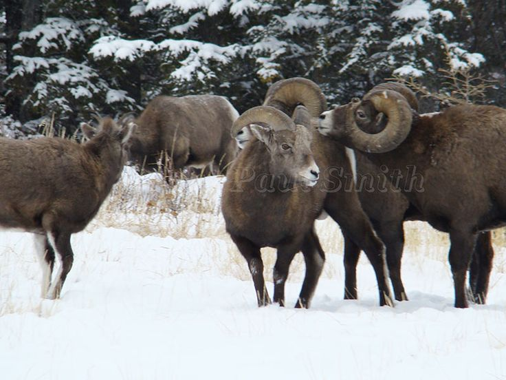 Took this picture of Big Horn sheep while driving through Jasper National Park in Alberta, Canada. http://www.paulsmithgallery.ca