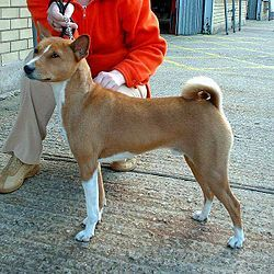 Today, I met this guy. Is a Basenji from Africa. Come and meet this guy, you'll be impress ;-)  I already listed in my pet wishlist