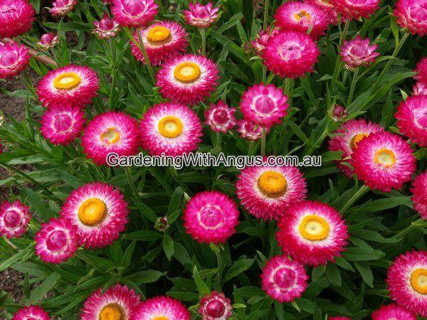 Xerochrysum 'Wallaby Cherry' – Everlasting Daisy