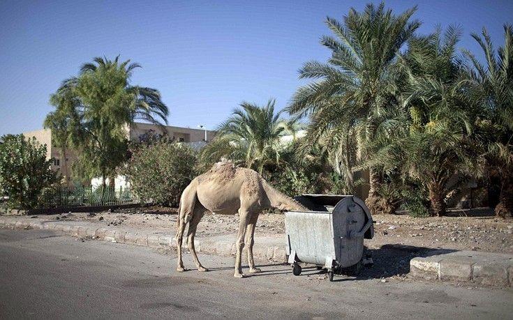 Αδέσποτες… καμήλες αναζητούν τροφή μέσα σε κάδους σκουπιδιών