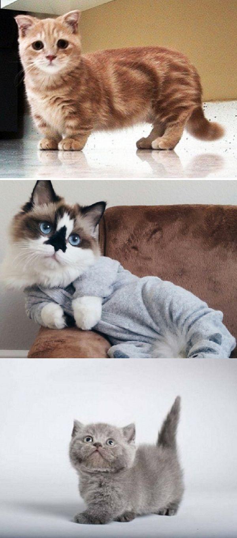 Wussten Sie, dass Munchkin-Katzen eine echte Sache sind und super liebenswert sind?   – Adorable Kittens