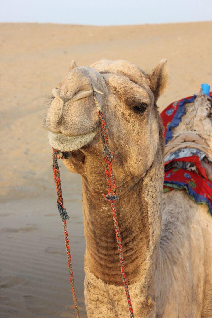 Looking majestic in the desert- Jaisalmer, India