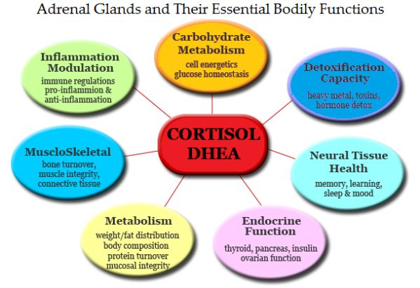 Adrenal Cortisol Levels                                                                                                                                                                                 More