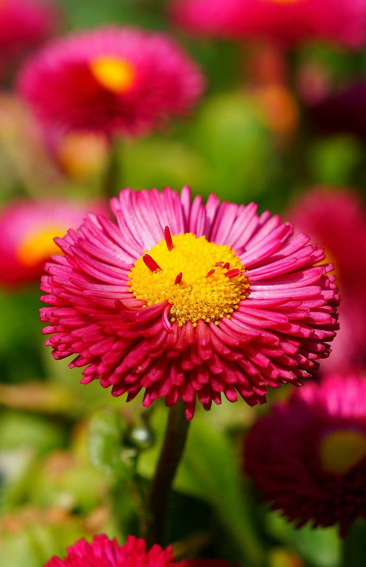 Best 25 daisy flower photos ideas on pinterest daisy daisy daisy flower photo 35 best flower photos dhlflorist Image collections