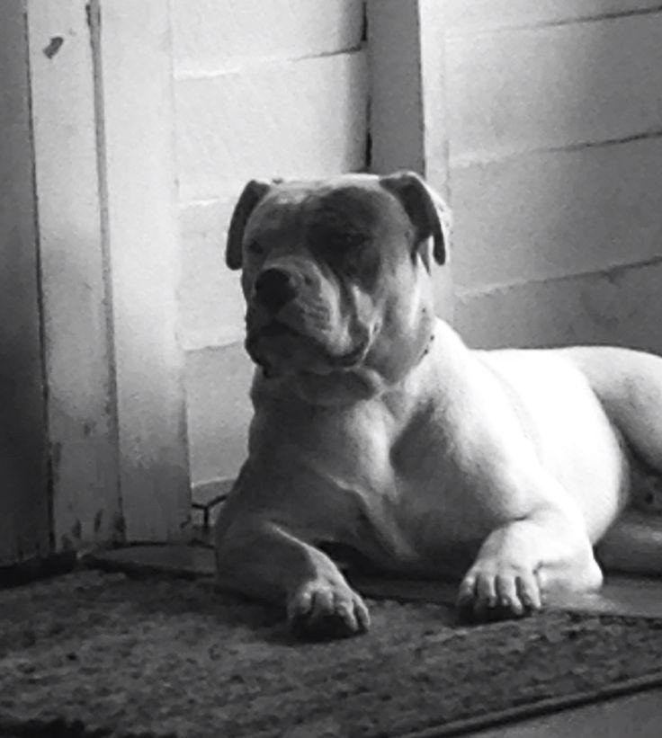 Johnson bulldog Bronx !