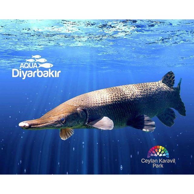 【aqua_diyarbakir】さんのInstagramをピンしています。 《🐊🐠🌟 Alligator Gar ( Timsah Baligi ) ❗️Daha fazlası icin Aqua Diyarbakir Akvaryuma bekliyoruz 💕🌸 Latince Adı: Atractosteus spatula. Aşırı agresif, ağzına sığabilecek türleri avlayacaktır. Yalnız olarak veya benzer büyüklükteki, agresif olmayan ve ağzına sığmayacak balıklarla birlikte beslenmelidir. Akvaryumlarında su akışı çok güçlü olmamalıdır ve aydınlatma çok parlak olmamalıdır. Bu tür dünyadaki en büyük tatlı su balıkları içerisinde yer…