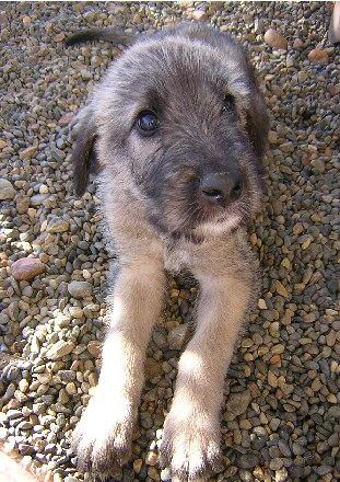 http://24.media.tumblr.com/tumblr_mbb24kXRt41qggpkxo1_400.jpg (Irish Wolfhound pup) Caution: melting hearts is inevitable if you look directly into those eyes...