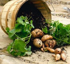 Посадка картофеля рассадным способом.Решила в этом году опробовать новый метод посадки картофеля. Для меня новый, а вот соседка садит так давно, у неё подглядела. Взяла пакетики ёмкостью около 1 литра