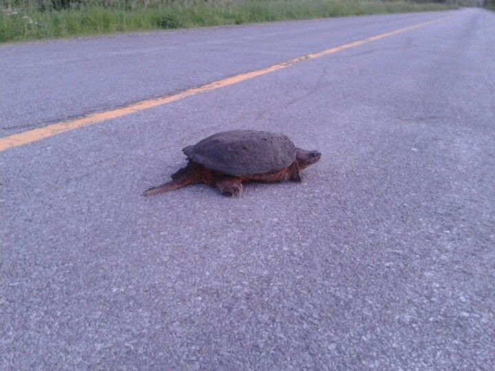 big old snapper, regular occurrence in Tweed Ontario