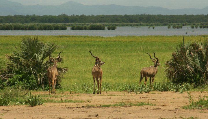 #Kudu very near #BushmansBaobabs at #Liwonde National Park. You can see the #ShireRiver in the background. #Malawi