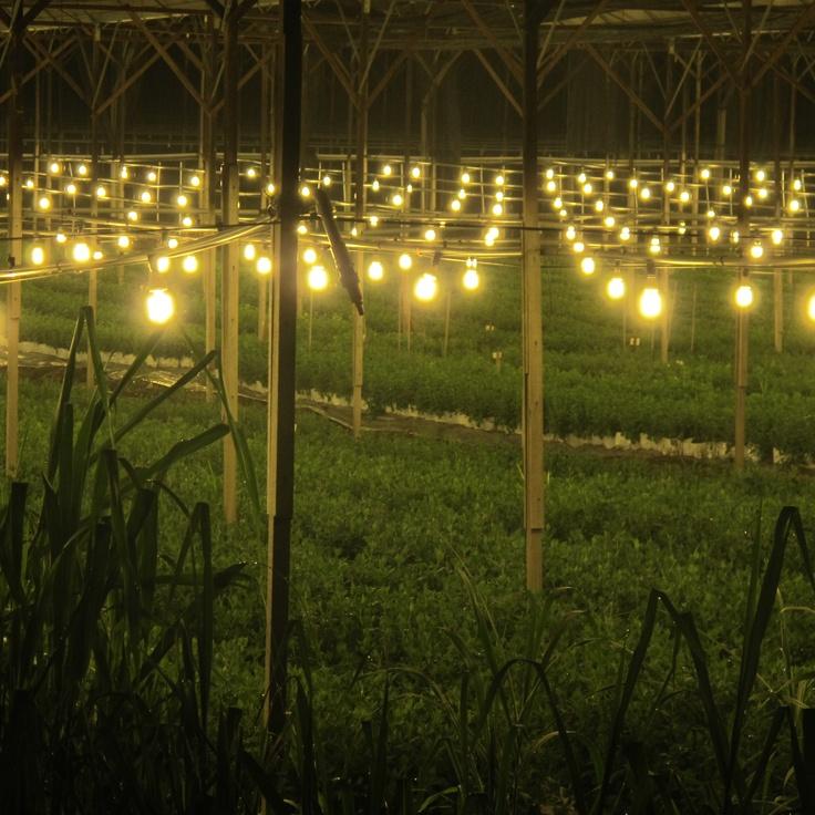 Cameron Highlands .Malaysia   Strawberry Farm