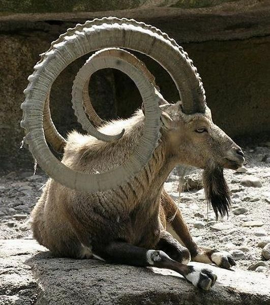 Wow! How magnificent.  Wonder how heavy they are and if he has a headache.  What is he?