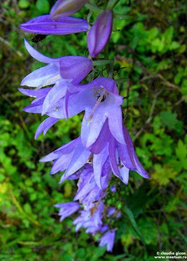 Clopoţei (Campanula rapunculoides ). Flori mov de munte