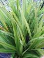Native Plant Centre: Plants for damp, wet areas eg Astelia grandis (Swamp Astelia)