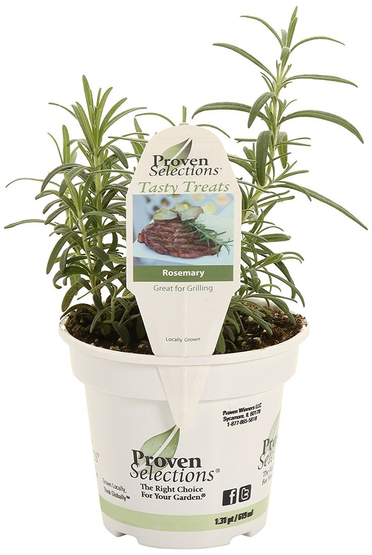 when to plant rosemary