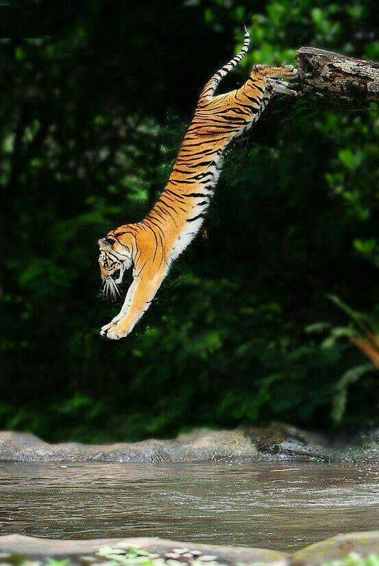 La première fois je suis devenu un tigre, j'ai abattu dans la rivière, échouer!