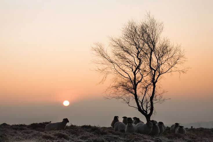 Ramsley Moor, silver birch and sheep - Fran Halsall