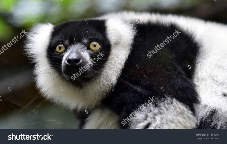 Ruffed Lemur Стоковые фотографии 311864204 : Shutterstock