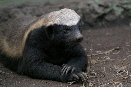 Honey Badger don't care! If you've never seen this meme, Google it!