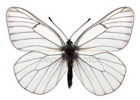 Скачать - Изолированные прожилками черно белая бабочка — стоковое изображение #108315862