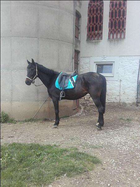 Ungarische Warmblutstute - Pferde kaufen in Eppenstein - pferdeanzeiger.at