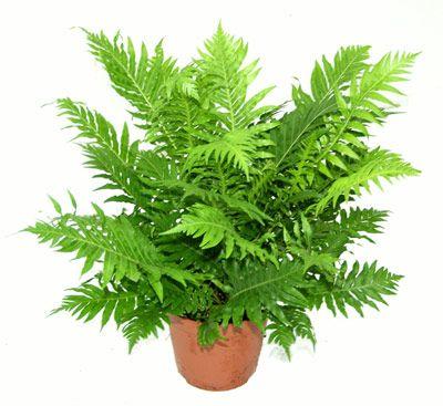 10 Plantas Purificadoras de Aire para eliminar Toxinas - La planta Espatifilo luce unas flores preciosas, también se la conoce como planta de la paz, y es capaz de purificar del aire: Tricloroetileno Acetona, Moho