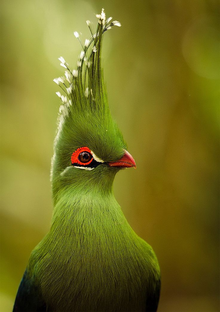 """The Bird With Majestic """"Hair Style"""" Photo http://onebigphoto.com/the-bird-with-majestic-hair-style/?utm_content=buffer2e15d&utm_medium=social&utm_source=pinterest.com&utm_campaign=buffer Also known as a mohawk in the human world :D"""