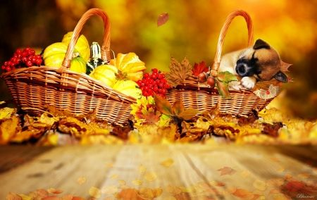*After harvest* - harvest, autumn, sleep, fall, dogie, cute, dogs, hq, puppy, time, season, basket, leaves